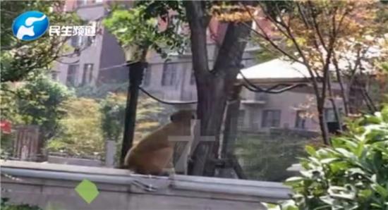 顽猴光顾焦作绿都叠翠园 业主:小区绿化好!